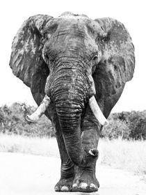 Large African elephant bull after bathing, Black and White by Yolande  van Niekerk