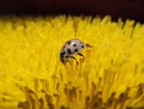 Albino Ladybug by Jessica McClanahan