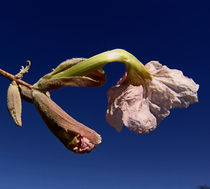indigenous flowers namibia von james smit