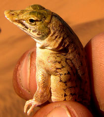 desert lizard by james smit
