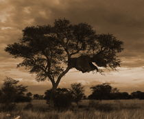 african weavers nest von james smit