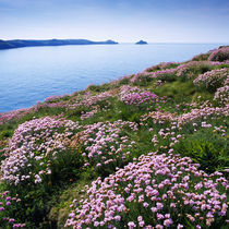 Thrift on Doyden Point, Cornwall by Craig Joiner