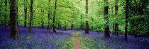 Forest of Dean Bluebells von Craig Joiner