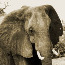 african elephant by james smit