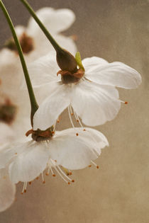 Cherry Blossoms by Priska  Wettstein