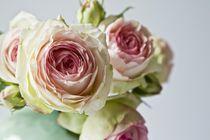Rosa-rosen3