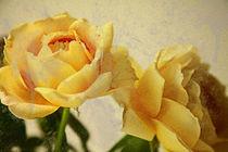 Rosen-mit-cross-und-schmutz