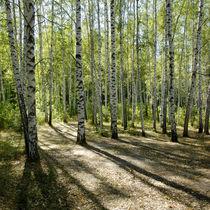 sunshiny birch grove von pasha66