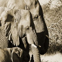 the african elephant family by james smit