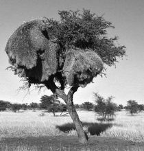 african weavers nest by james smit
