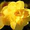 Beauty-in-yellow