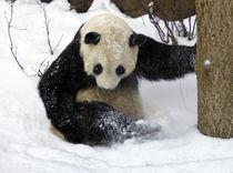 Panda-0046