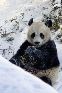 Panda-0030