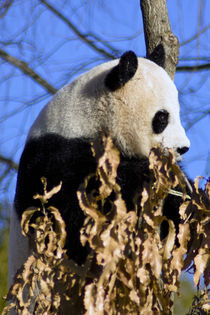 Panda-0034