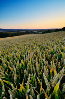 Wheat Field in Somerset by Craig Joiner