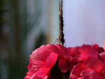 butterfly 2 by rickyss