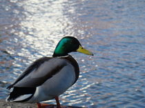 duck by the water by rickyss