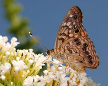Hackberry Emperor (Asterocampa celtis) by Howard Cheek