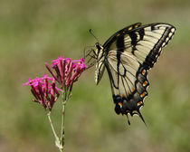 Tiger Swallowtail (Papilio glaucas) by Howard Cheek