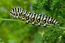 Swallowtail-caterpillar