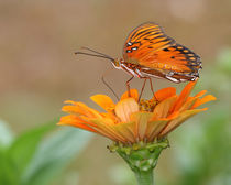 Passion Butterfly (Agraulis vanillae) by Howard Cheek