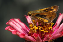 Fiery Skipper (Hylephila phyleus) by Howard Cheek