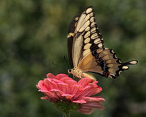 Giant Swallowtail (Papilio cresphontes) by Howard Cheek