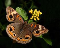 Texas-buckeye-butterfly