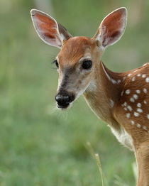 Bambi's Portrait (Whitetail Fawn) by Howard Cheek