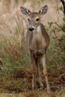 Innocence (Whitetail Fawn) by Howard Cheek