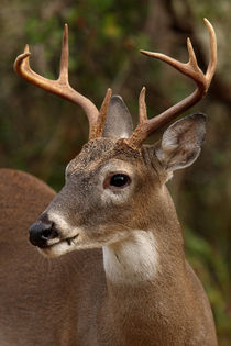 Eight point White-tailed Buck  by Howard Cheek