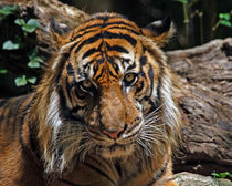 Sumatran Tiger (Panthera tigris sumatrae) by Howard Cheek