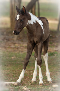 Spring Babe (first year foal) by Howard Cheek