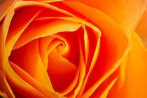 Rose orange by Werner Schulteis
