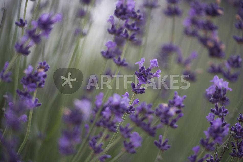 echter lavendel true lavender photography art prints. Black Bedroom Furniture Sets. Home Design Ideas