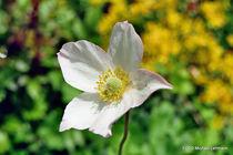 Blüte von M. Lehmann