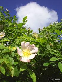 Blüten von M. Lehmann