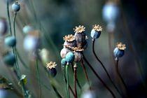 poppy by Carina Meyer-Broicher
