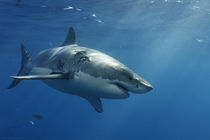 Mexico, Mexiko, Guadaloupe, Island, Great White Shark, Weißer Hai by Norbert Probst