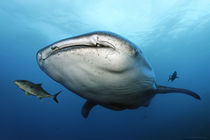 Walhai, Whale shark, Ekuador, Ecuador, Galapagos Inseln, Islands, Darwin IslandThink Big von Norbert Probst
