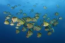 Sea-Butterflies by Norbert Probst