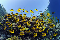 Reef Butterflies by Norbert Probst