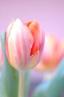 Tulpe im Vordergrund von printer