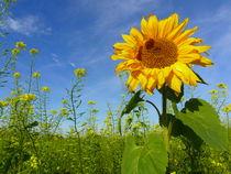Sonnenblume by Ralf Schröer