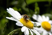 Biene auf Margeritenblüte by Anne Silbereisen