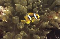 Anemonenfisch by Heike Loos