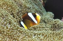 Anemonenfisch von Heike Loos