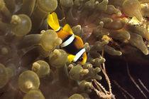 Anemonenfische by Heike Loos