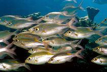 Fischschwarm von Heike Loos