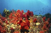 rote Weichkorallen - Fiji von Heike Loos